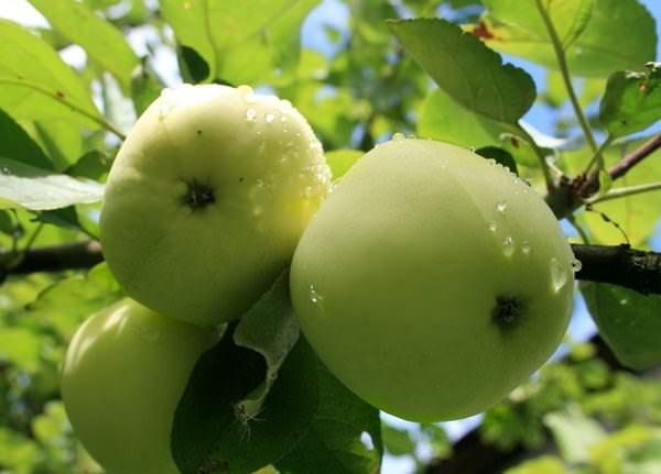 Основные сорта яблонь и правила их выращивания